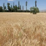 مجری طرح گندم وزارت جهاد کشاورزی خبر داد : ۷۵ درصد برنامه کشت گندم محقق شد