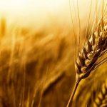 آخرین وضعیت خرید گندم و کلزا از کشاورزان خوزستان
